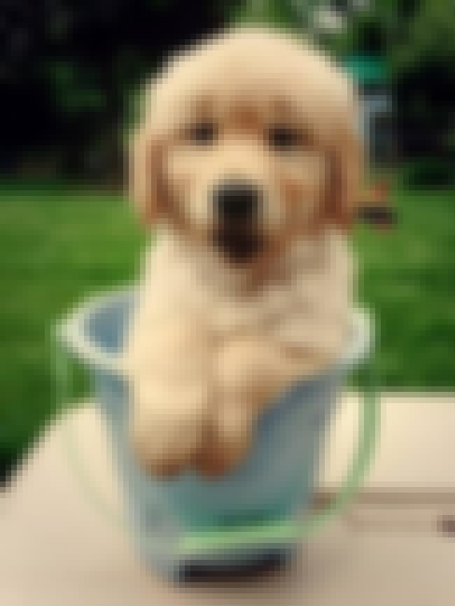 In a Bucket is listed (or ranked) 2 on the list The Cutest Golden Retriever Pictures