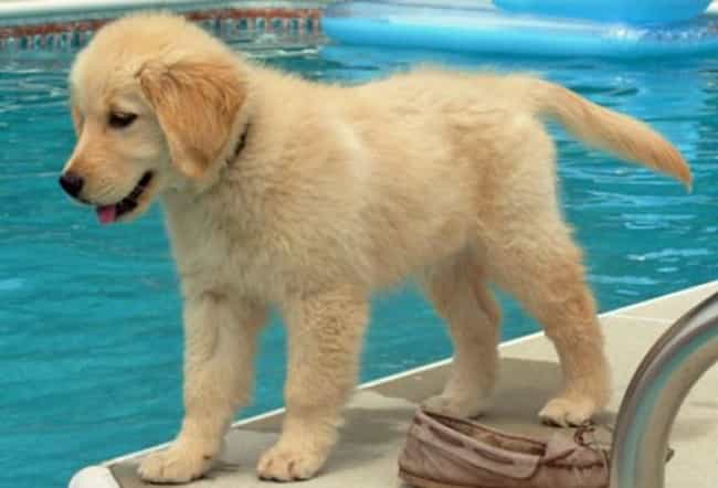 Learning to Swim is listed (or ranked) 4 on the list The Cutest Golden Retriever Pictures