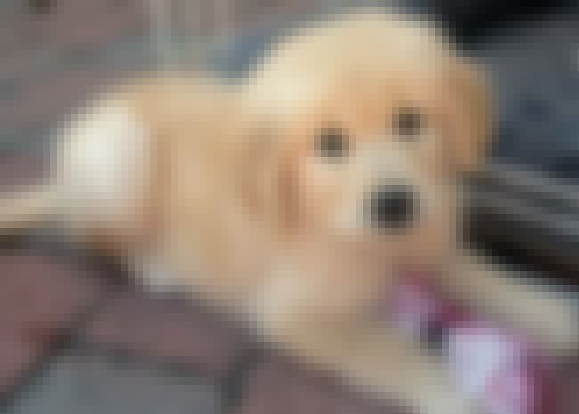 My Rope is listed (or ranked) 3 on the list The Cutest Golden Retriever Pictures