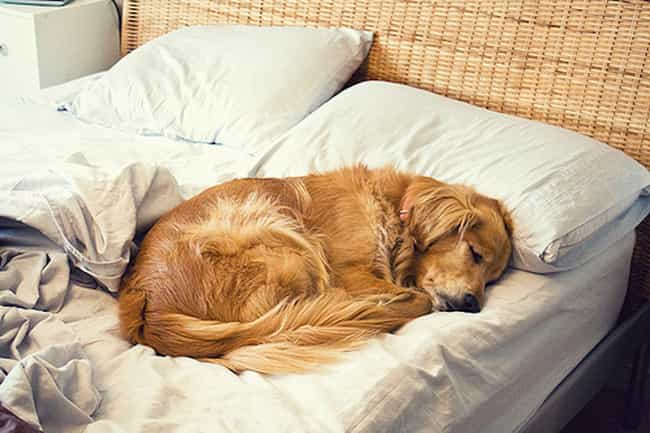 Ready for Bed Now is listed (or ranked) 1 on the list The Cutest Golden Retriever Pictures
