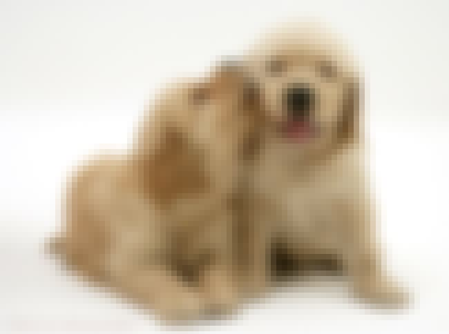 Sweet Nothings is listed (or ranked) 4 on the list The Cutest Golden Retriever Pictures