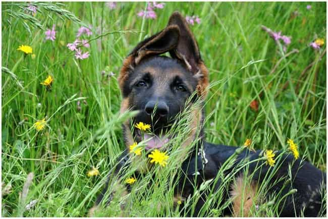 I Can Still See You is listed (or ranked) 2 on the list The Cutest German Shepherd Pictures