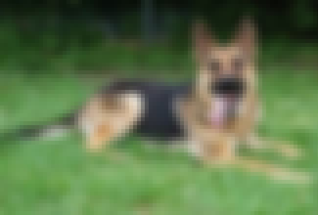It's Hot is listed (or ranked) 2 on the list The Cutest German Shepherd Pictures