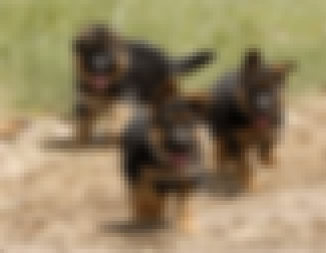 Pups On the Run is listed (or ranked) 2 on the list The Cutest German Shepherd Pictures