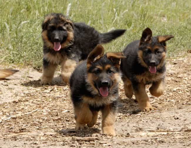 Pups On the Run is listed (or ranked) 3 on the list The Cutest German Shepherd Pictures