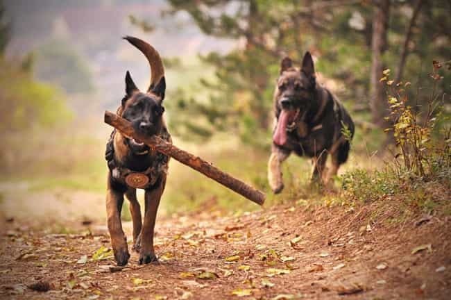 Pups On the Run is listed (or ranked) 4 on the list The Cutest German Shepherd Pictures