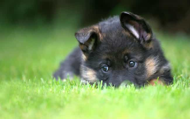 Sad Eyes is listed (or ranked) 2 on the list The Cutest German Shepherd Pictures