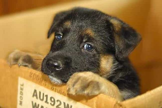 Sad Eyes is listed (or ranked) 1 on the list The Cutest German Shepherd Pictures