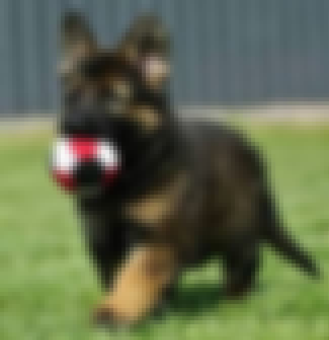 This Is My Ball is listed (or ranked) 1 on the list The Cutest German Shepherd Pictures