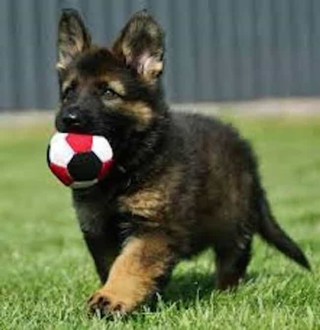 This Is My Ball is listed (or ranked) 4 on the list The Cutest German Shepherd Pictures