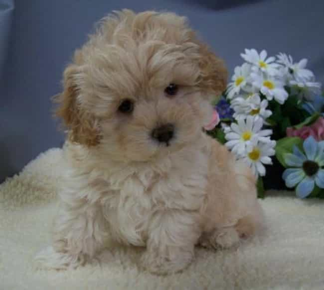 Daisy Pup is listed (or ranked) 2 on the list The Cutest Maltipoo Pictures