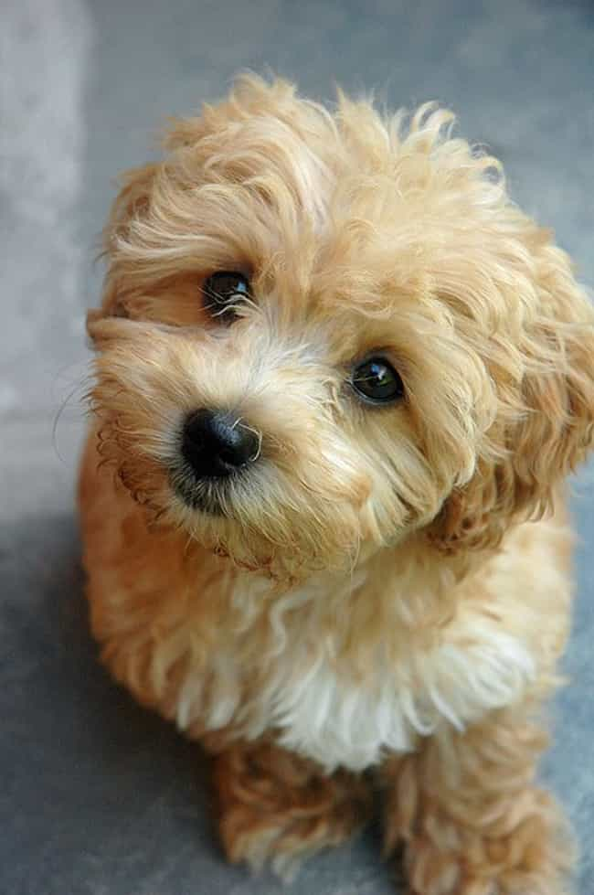 Feed Me Please is listed (or ranked) 1 on the list The Cutest Maltipoo Pictures