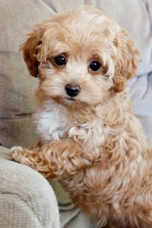 Random Cutest Maltipoo Pictures