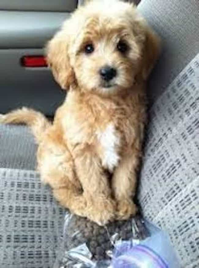 Going for a Ride is listed (or ranked) 3 on the list The Cutest Maltipoo Pictures