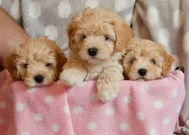 Puppy Litter is listed (or ranked) 3 on the list The Cutest Maltipoo Pictures