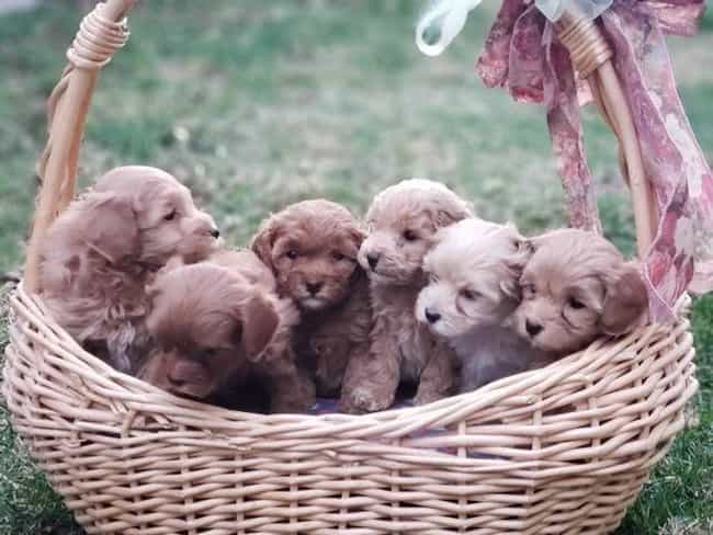 In a Basket is listed (or ranked) 4 on the list The Cutest Maltipoo Pictures