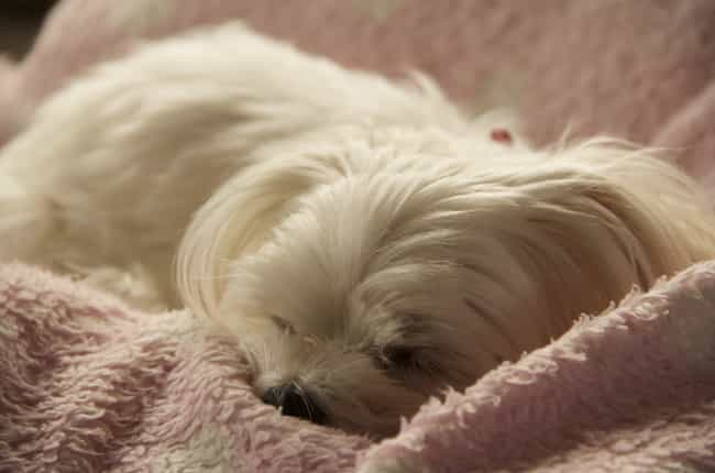 All Tucked In is listed (or ranked) 4 on the list The Cutest Maltese Pictures