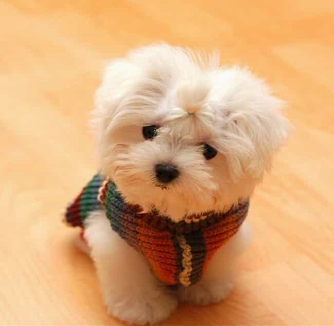 Pup in a Scarf is listed (or ranked) 4 on the list The Cutest Maltese Pictures