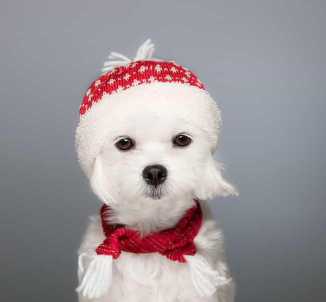 Pup in a Scarf is listed (or ranked) 3 on the list The Cutest Maltese Pictures