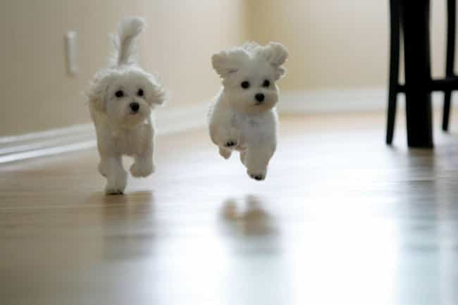 Leaping Pups is listed (or ranked) 1 on the list The Cutest Maltese Pictures