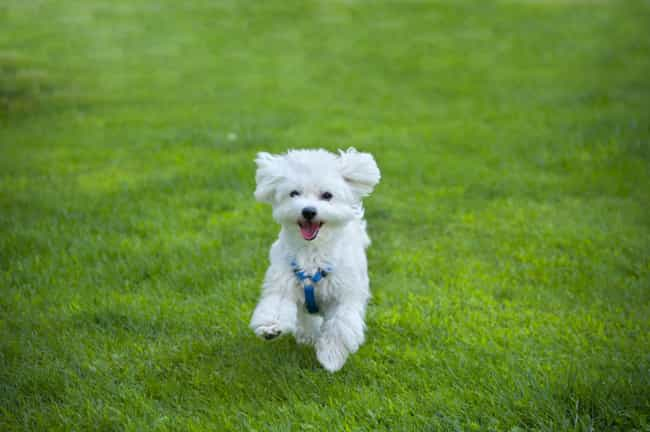 Leaping Pup is listed (or ranked) 1 on the list The Cutest Maltese Pictures