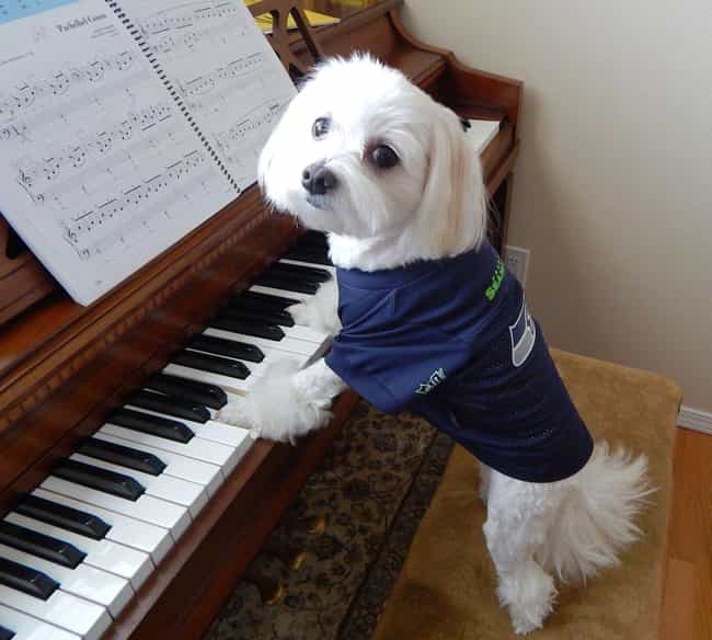 Pianist Pup is listed (or ranked) 2 on the list The Cutest Maltese Pictures