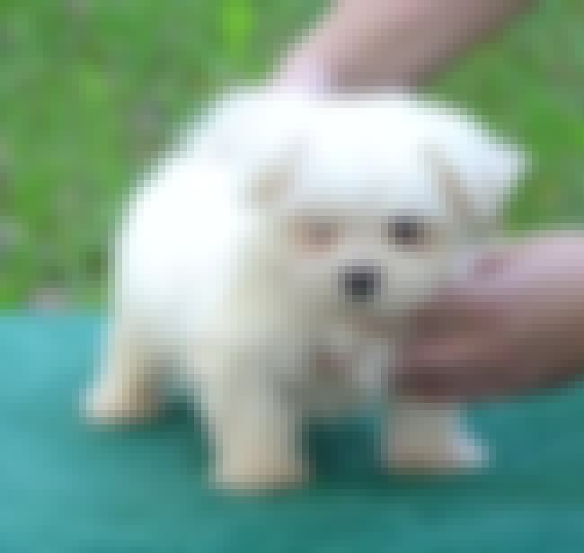 Stop Poking Me is listed (or ranked) 3 on the list The Cutest Maltese Pictures