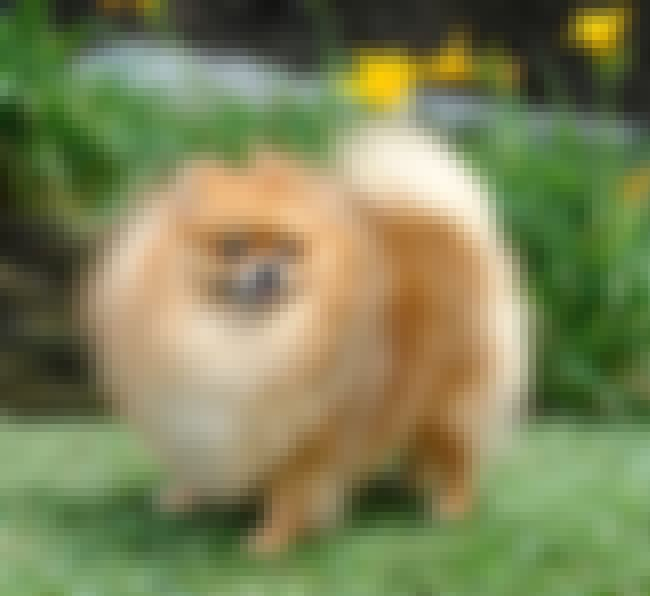 Big Mane is listed (or ranked) 7 on the list The Cutest Pomeranian Pictures