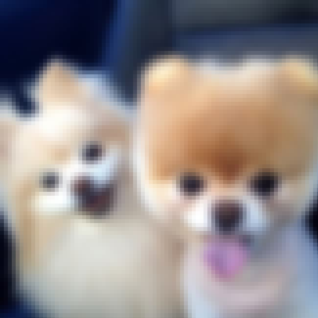 Boo is listed (or ranked) 4 on the list The Cutest Pomeranian Pictures