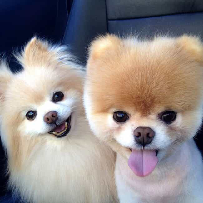 Boo is listed (or ranked) 3 on the list The Cutest Pomeranian Pictures