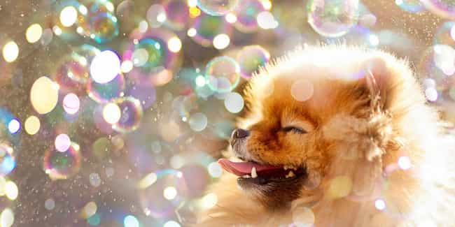 Bubbles is listed (or ranked) 4 on the list The Cutest Pomeranian Pictures