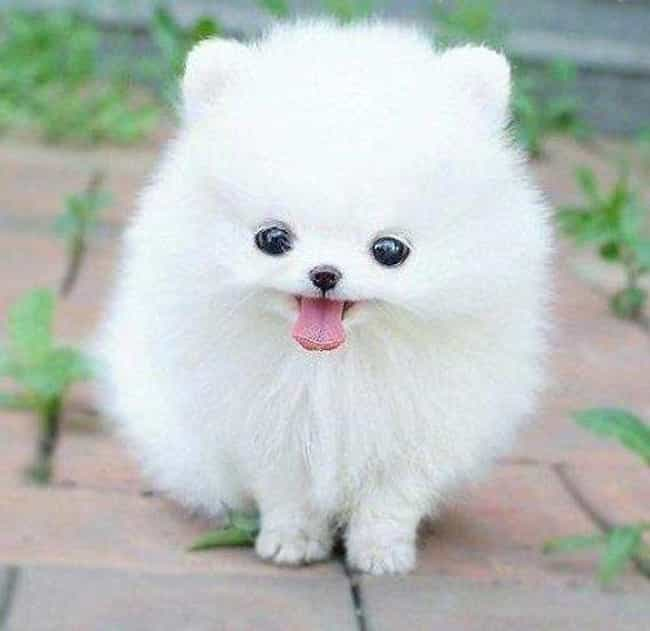 Derp is listed (or ranked) 2 on the list The Cutest Pomeranian Pictures