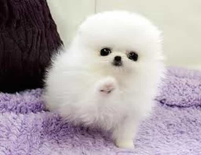High Five is listed (or ranked) 1 on the list The Cutest Pomeranian Pictures