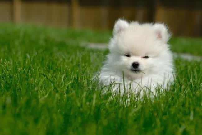 In the Grass is listed (or ranked) 4 on the list The Cutest Pomeranian Pictures