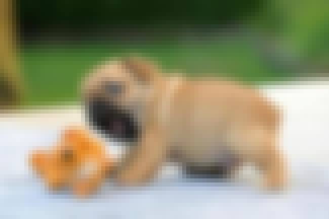 Baby With His Toy is listed (or ranked) 2 on the list The Cutest Pug Pictures
