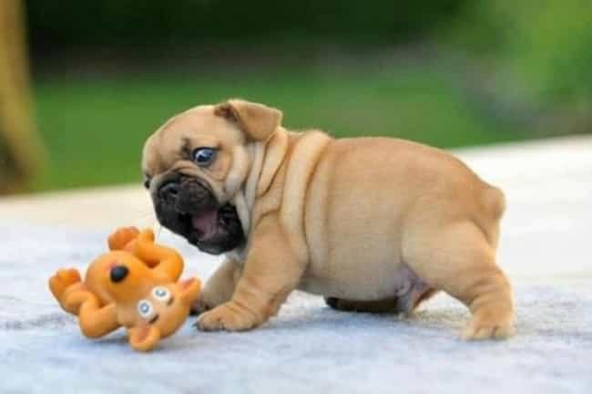 Baby With His Toy is listed (or ranked) 4 on the list The Cutest Pug Pictures