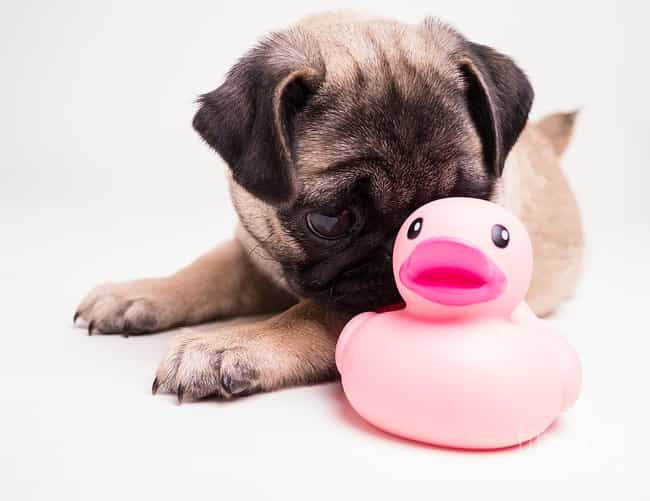 Bath Time Pug is listed (or ranked) 2 on the list The Cutest Pug Pictures