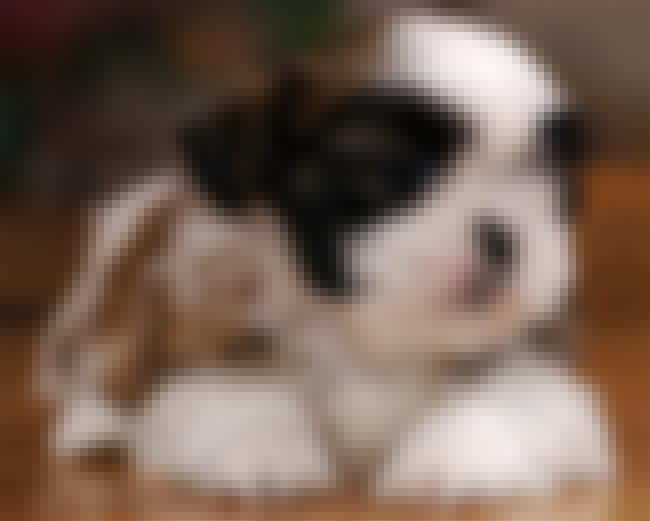 Sweet Puppy is listed (or ranked) 3 on the list The Cutest Shih Tzu Pictures