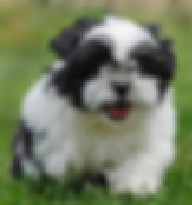 Frolicking is listed (or ranked) 4 on the list The Cutest Shih Tzu Pictures
