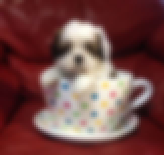 Teacup is listed (or ranked) 4 on the list The Cutest Shih Tzu Pictures
