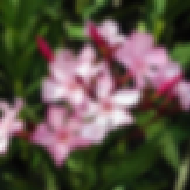 Nerium Oleander - Oleander Flo... is listed (or ranked) 3 on the list The World's Most Violent Plants