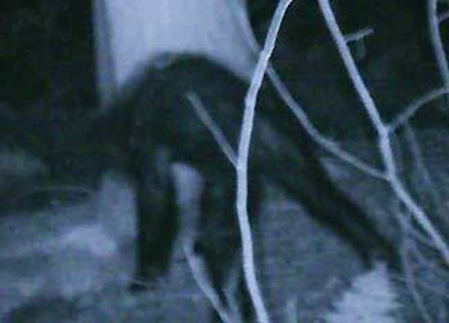Juvenile Sasquatch is listed (or ranked) 4 on the list The Best (Alleged) Pictures of Bigfoot