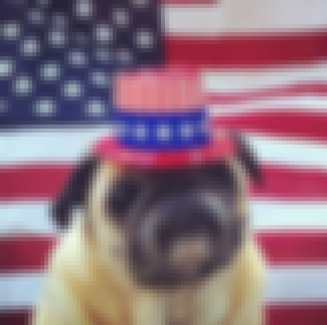 It's important to accessor... is listed (or ranked) 2 on the list The Best Photos of Patriotic Pug