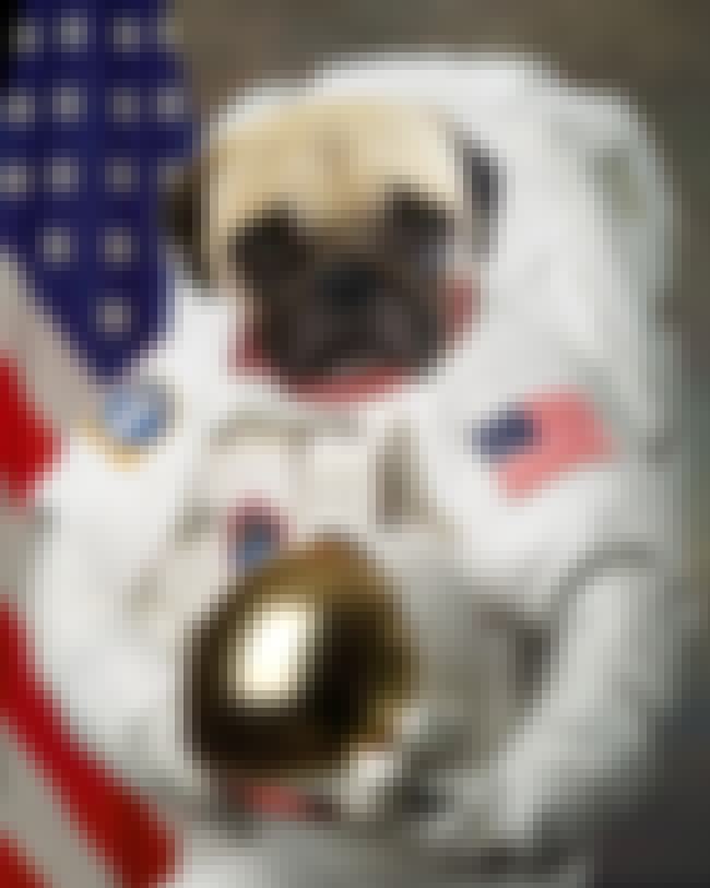 Even in outer space it is stil... is listed (or ranked) 1 on the list The Best Photos of Patriotic Pug
