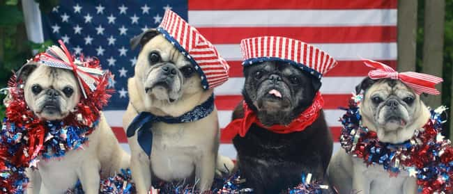 Pug Bless America is listed (or ranked) 15 on the list The 41 Cutest Pictures of Patriotic Pets