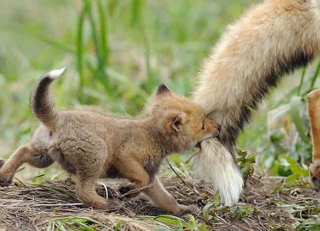 Fox and Kit is listed (or ranked) 3 on the list The Most Adorable Animal Parenting Moments