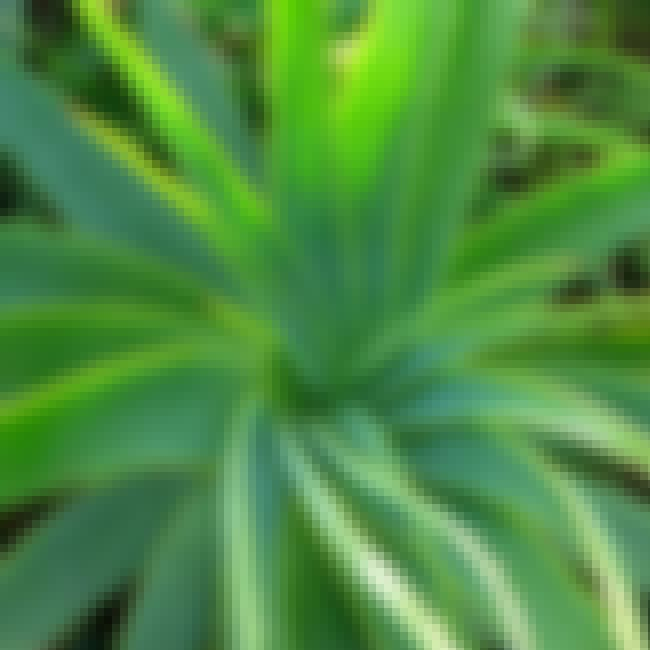 Aloe Vera is listed (or ranked) 2 on the list The Best Mosquito Bite Remedies