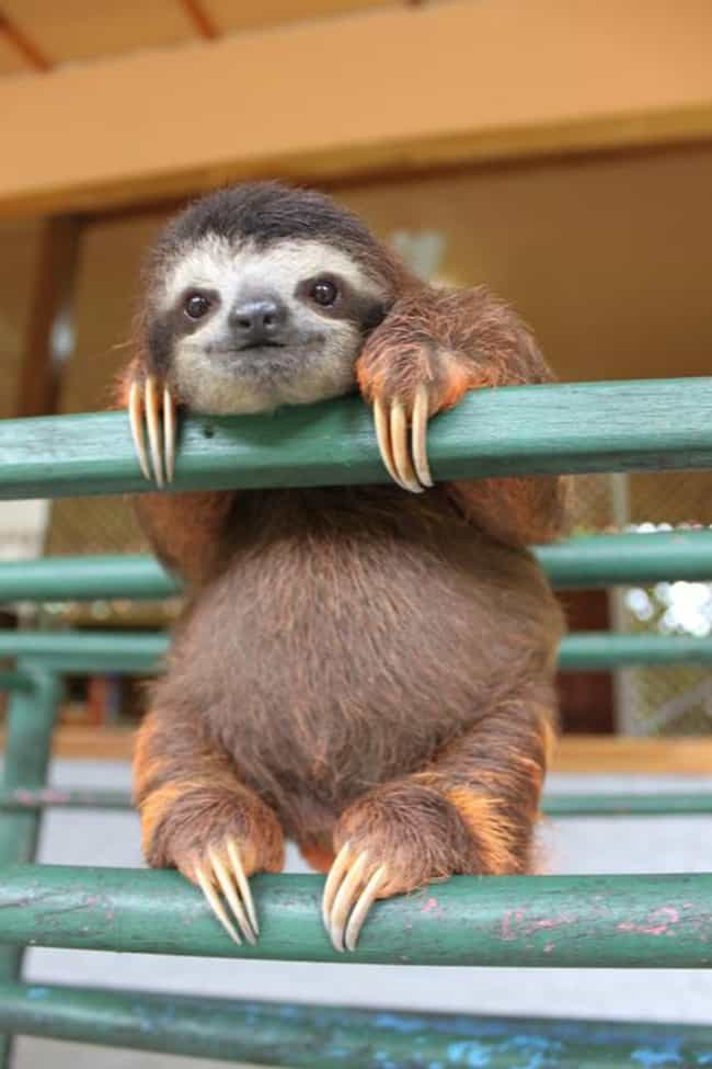 Ridiculously Photogenic ... is listed (or ranked) 1 on the list 20 Adorable Pictures of Sloths