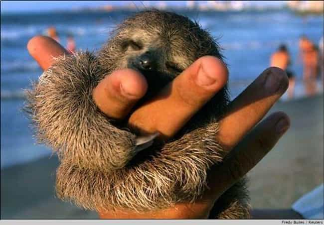 Beach Buddy is listed (or ranked) 2 on the list 20 Adorable Pictures of Sloths
