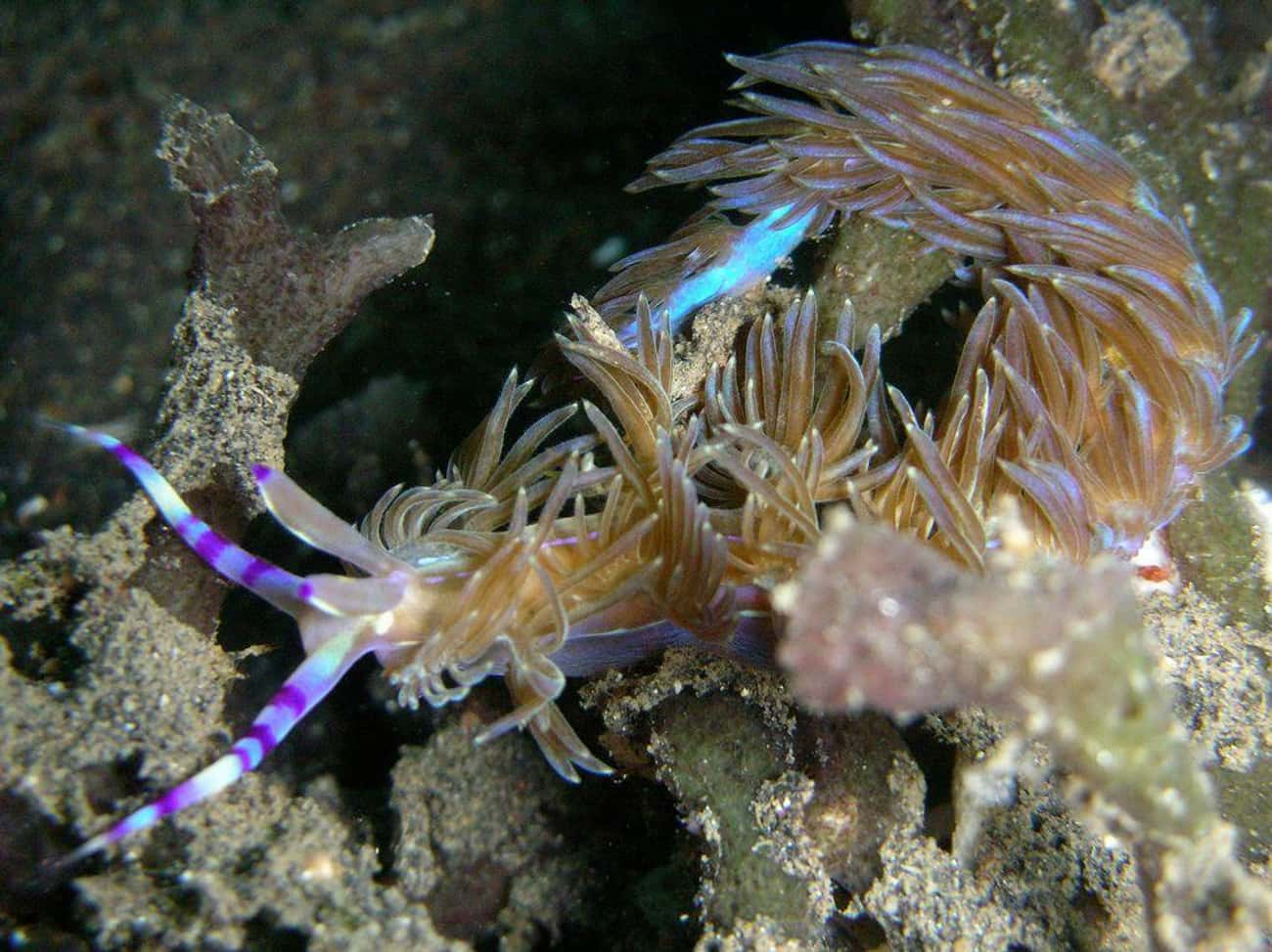 Blue Dragon Nudibranch is listed (or ranked) 4 on the list 75 Stunning Oceanic Invertebrates That Deserve A Closer Look